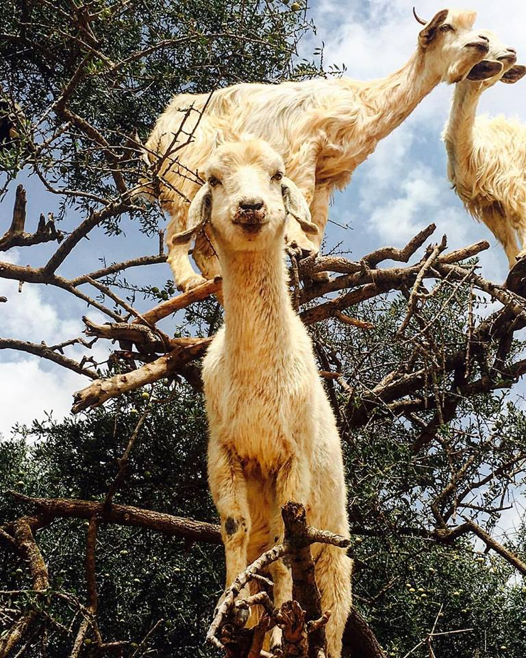 tree goat morocco