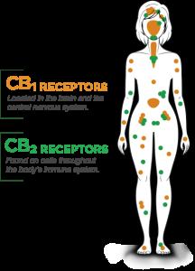 endocannabinoid system receptor points