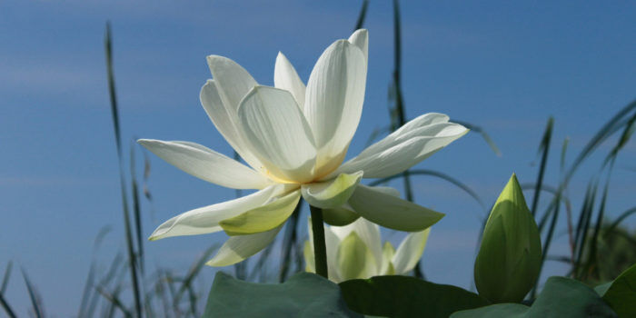 spiritual development and the lotus flower